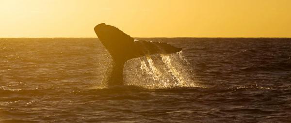 As baleias estão na costa brasileira até setembro