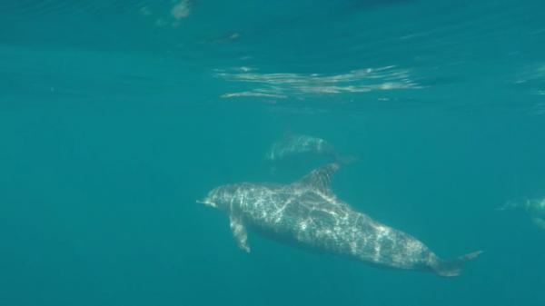 Os golfinhos mais comuns no litoral do estado s\u00e3o da esp\u00e9cie Sotalia guianensis, popularmente conhecidos como boto-cinza.
