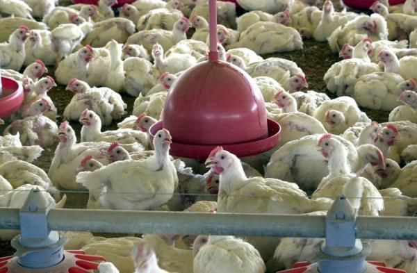 """Exporta\u00e7\u00e3o de carne de frango sofreu impacto por causa de sobretaxa da China """","""""""