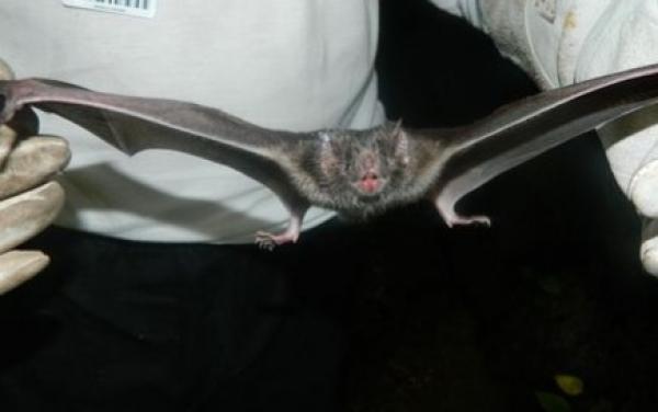 Depois de identificar seis morcegos com raiva, Secretaria reforça alerta em Curitiba