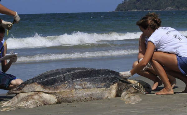 Pesca industrial pode ter matado tartarugas gigantes no Paraná