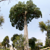 A árvore na Praça General Werner Gross: a mais alta de Curitiba