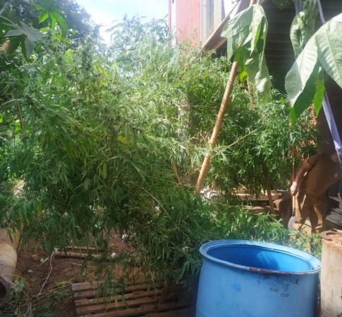 A plantação de maconha em Foz