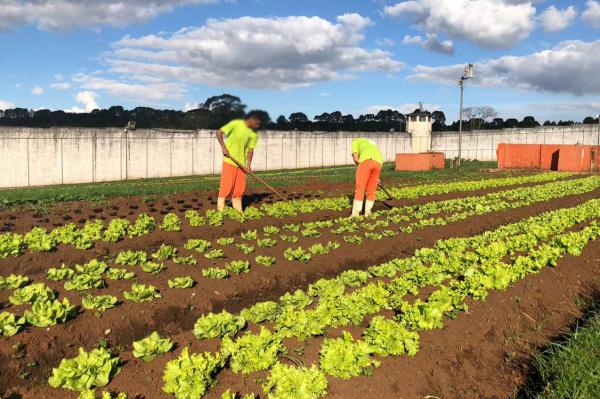 Piraquara:  atualmente dez presos trabalham diariamente na horta.