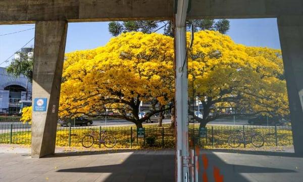 Ipê amarelo da Rodoviária é um dos exemplos de árvore imune