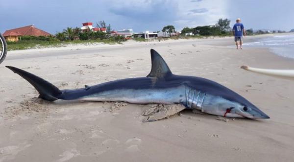 O tubarão encontrado em Guaratuba: 1,80m