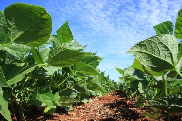 Clima prejudicou a safra de soja neste ano: queda de 15,8%