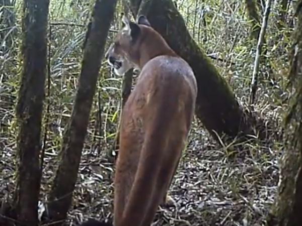 A presença da onça-parda indica remanascentes florestais na região