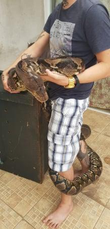 Cobra píton em Piraquara