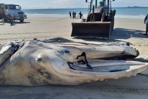 Mais uma baleia encalha e morre no Litoral do Paraná; é a sétima em três meses