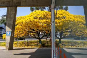 Curitiba tem 43 árvores protegidas e consideradas imunes de corte
