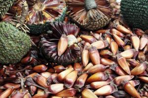 Festival Sabores do Pinhão faz a alegria dos fãs do fruto símbolo do Paraná